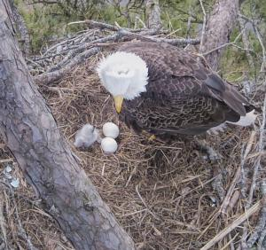 Our First Eagle Chick Of The Season Has Hatched